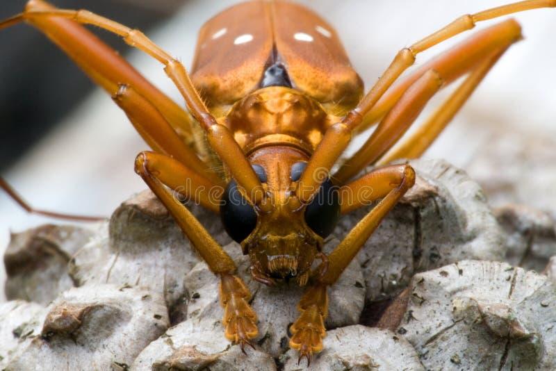 Besouro tropical de Longhorn da floresta húmida fotografia de stock
