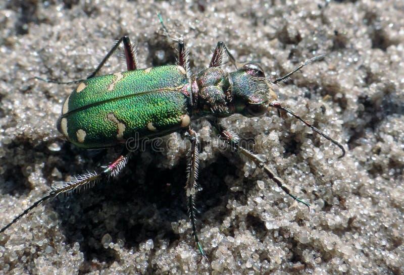 Besouro verde foto de stock