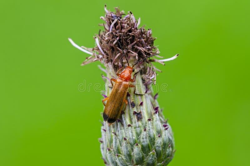 Besouro vermelho comum do soldado na flor imagens de stock royalty free