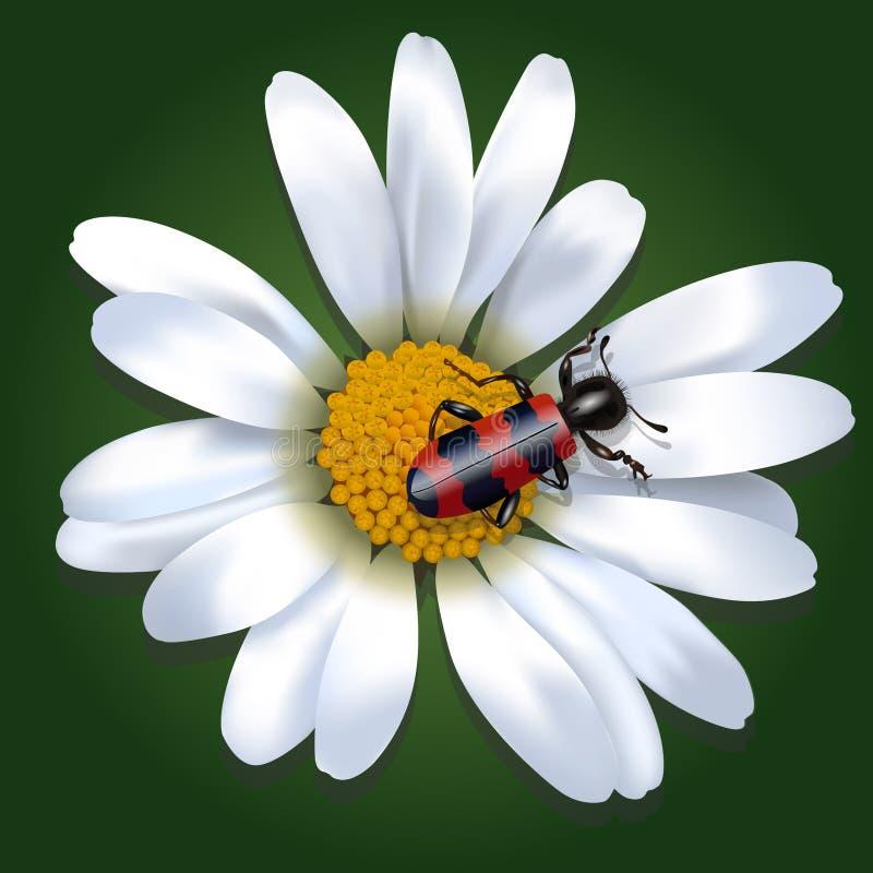 Besouro vermelho e preto em uma flor da margarida ilustração stock