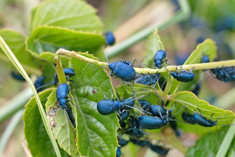 Besouros azuis em um galho imagens de stock