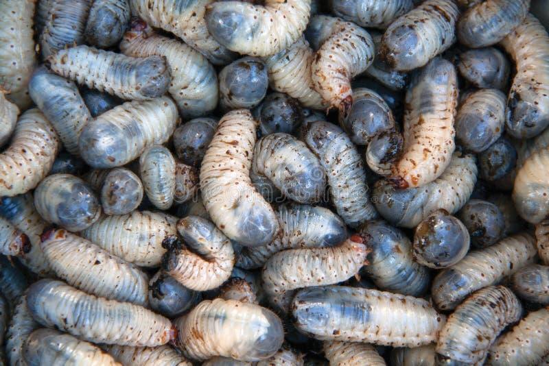 Besouros da larva imagem de stock royalty free
