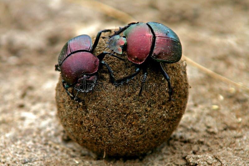 Besouros de estrume fotografia de stock