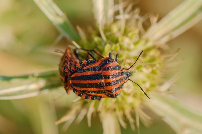 Besouros listrados no cardo pequeno da flor no por do sol fotos de stock