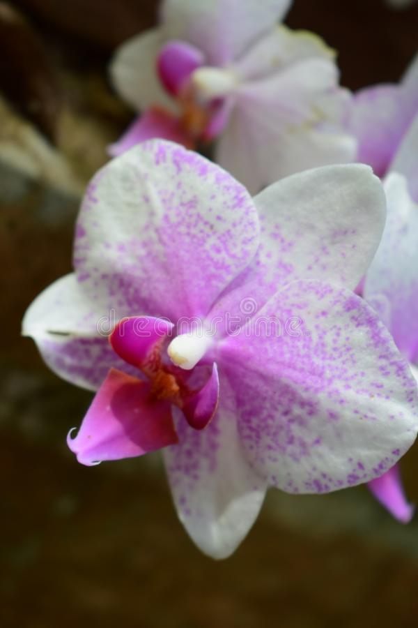 Bespoten roze orchidee royalty-vrije stock fotografie