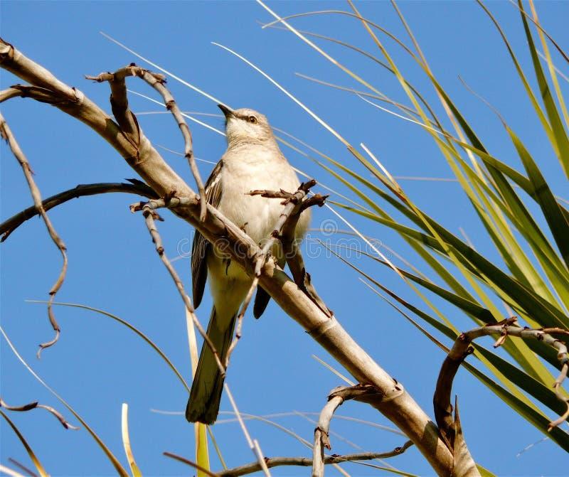 Bespottende Vogel royalty-vrije stock fotografie