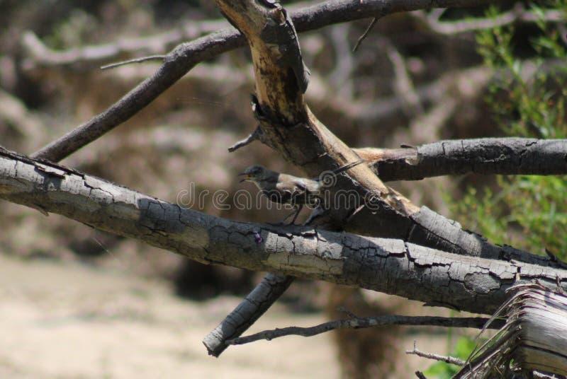 Bespottende Vogel stock afbeelding