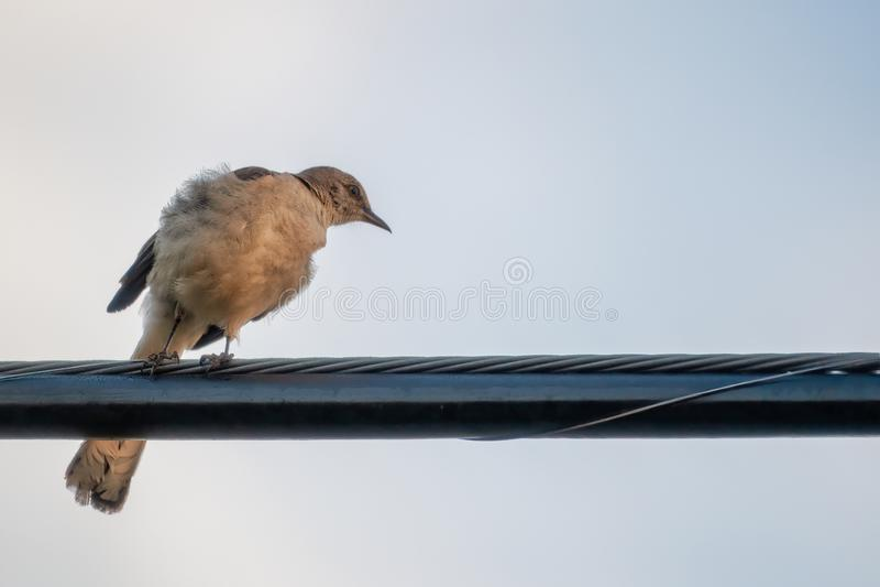 Bespottende Vogel stock foto's