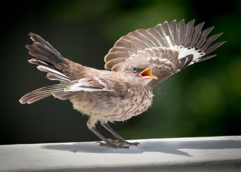 Bespottende vogelbeginneling stock afbeeldingen