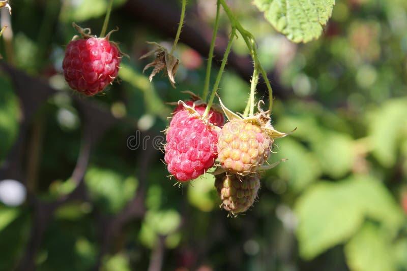 Bessenframbozen in de tuin Een nieuwe oogst van bessen royalty-vrije stock fotografie