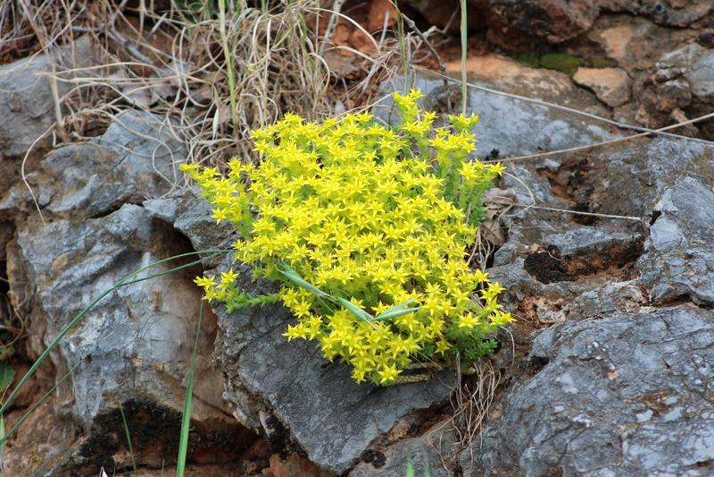 Beständige blühende Pflanze des Mauerpfeffer- oder Sedum-Morgens mit dem hellen gelben sternenklaren Blumenwachsen zwischen enorm stockbild