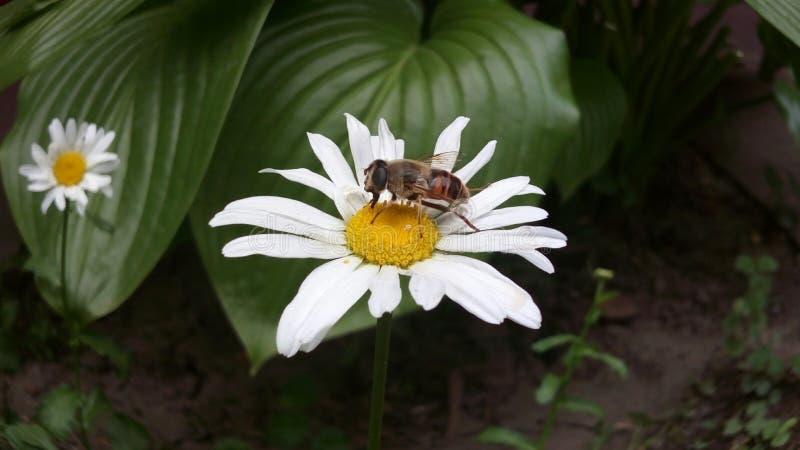 Bestäubungsblume des Frühlinges und glückliches Insekt stockfoto