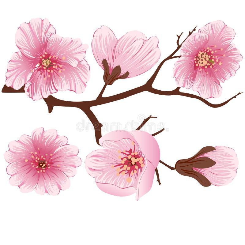 Beståndsdel för filial för vektorsakura blomma Elegant beståndsdel för din design Körsbärsröd blomning vektor illustrationer