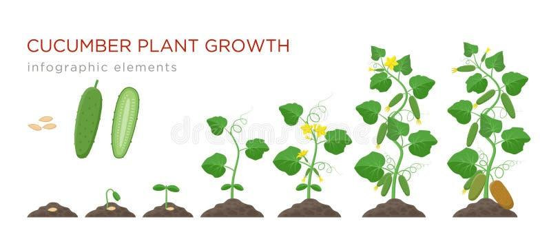 Beståndsdelar för etapper för gurkaväxttillväxt infographic i plan design Plantera process av gurkan från frö spira till moget vektor illustrationer