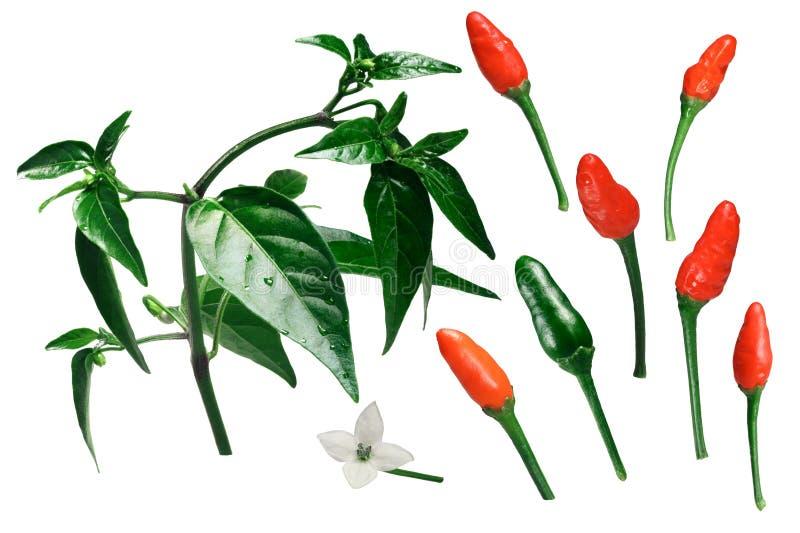 Beståndsdelar för peppar för Pequin piquinchile, banor arkivbilder