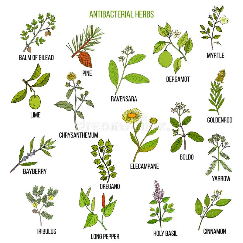 Best antibacterial herbs. Hand drawn vector set of medicinal plants stock illustration