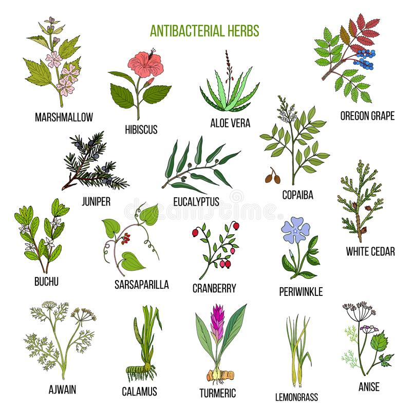 Best antibacterial herbs. Hand drawn vector set of medicinal plants vector illustration