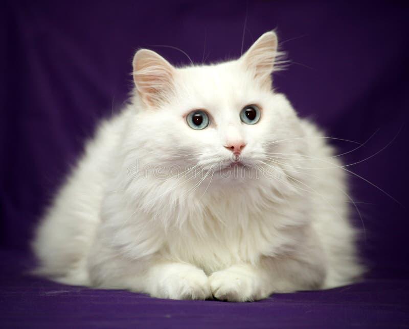 Best of Breed Cat. Blue Eyed Cat - White Turkish Angora