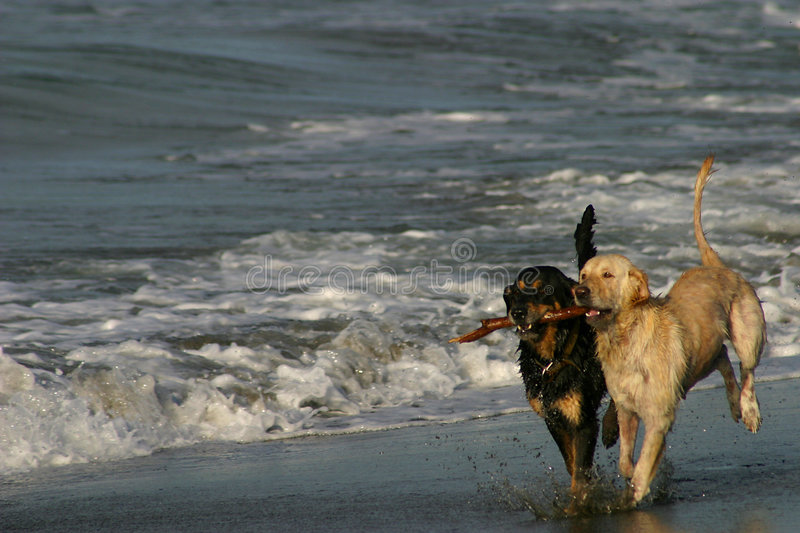 Best Friends Dogs Playing on a Beach royalty free stock photos
