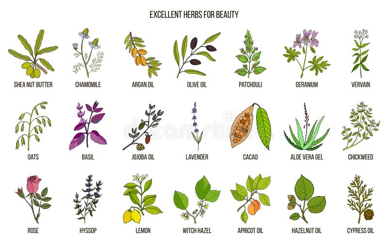 Best herbs for beauty care. Hand drawn vector set of medicinal plants stock illustration
