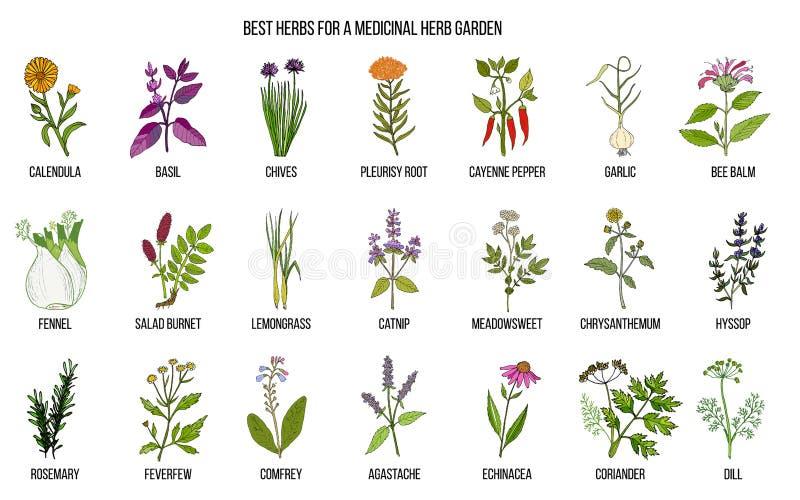 Medicinal And Garden Plant Bergenia Badan, Siberian Tea