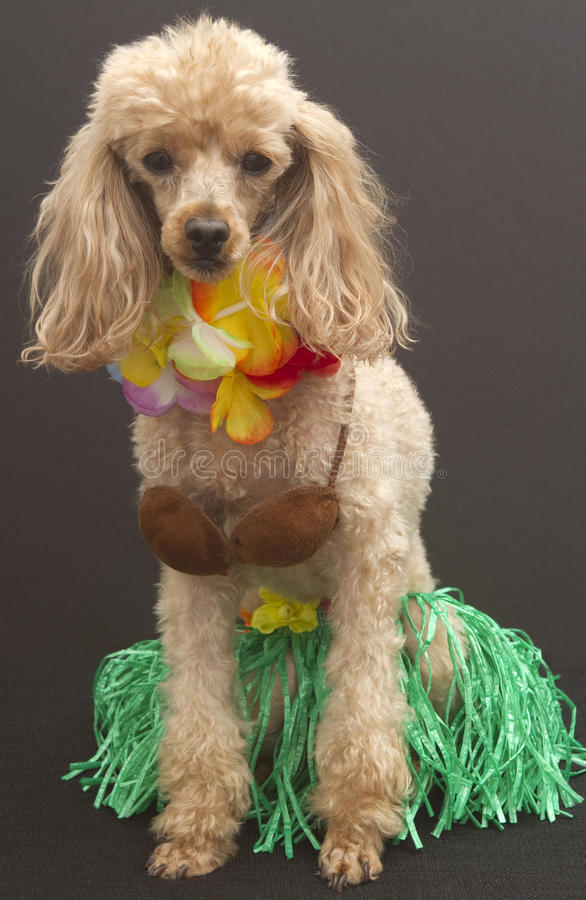 The Best Hula Dancer. A poodle dressed up as a hula dancer, wearing a grass skirt, coconut bra, and a lei, isolated on a gray background royalty free stock photos