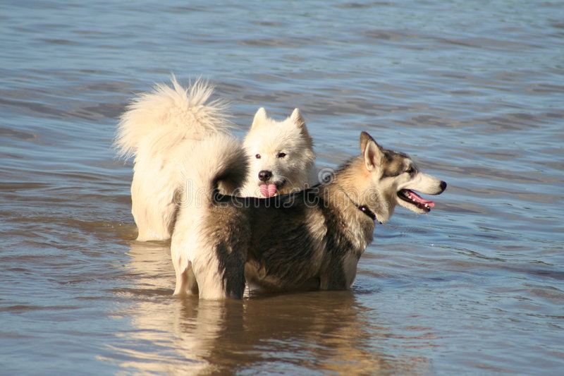 Best Mates. Purebred Huski and Purebred Samoyed, together playing as best mates stock photo