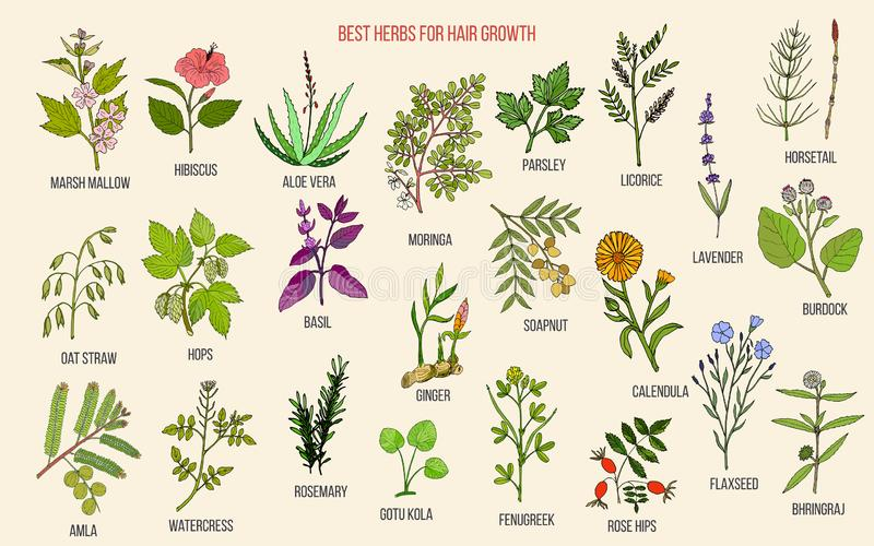 Best medicinal herbs for hair growth stock illustration