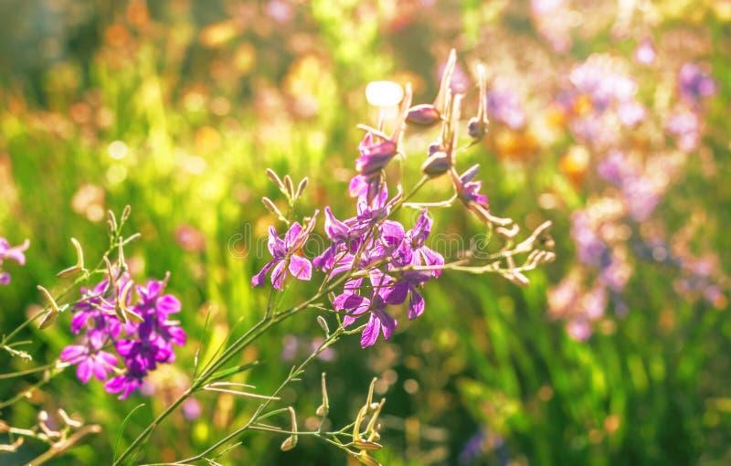 Purple flowers illuminated by sun royalty free stock photos