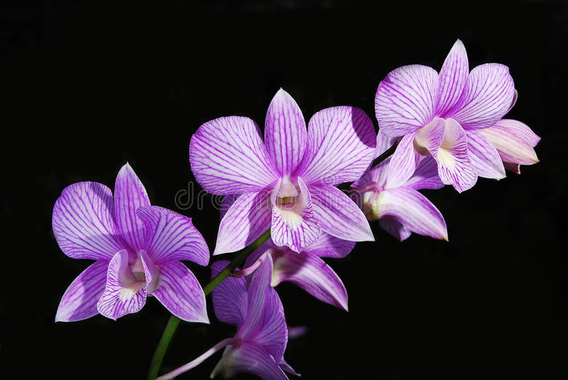 The best violet orchid royalty free stock image