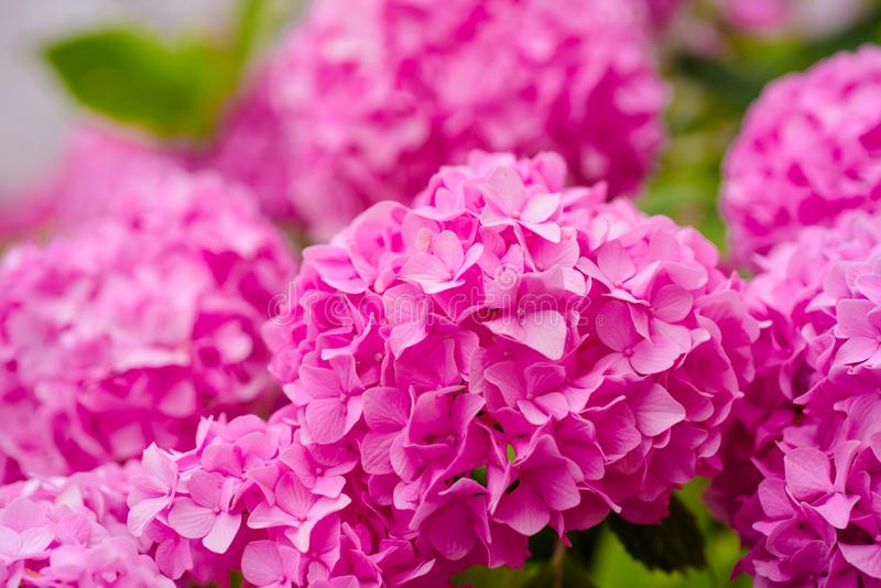 The best for your garden. Flowering hortensia plant. Blossoming flowers in summer garden. Pink hydrangea in full bloom. Hydrangea blossom on sunny day. Showy royalty free stock photography
