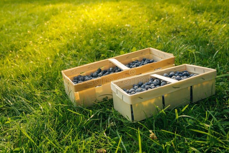 Beste Blaubeeren des kürzlich geernteten Gartens in den hölzernen rechteckigen Körben vor dem hintergrund des grünen Grases auf d lizenzfreies stockbild
