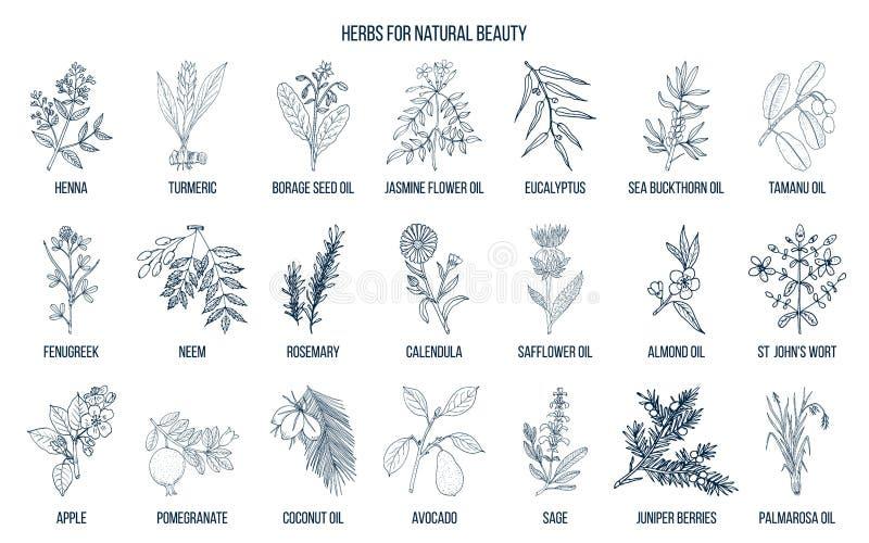 Beste Kräuter für Naturschönheit vektor abbildung