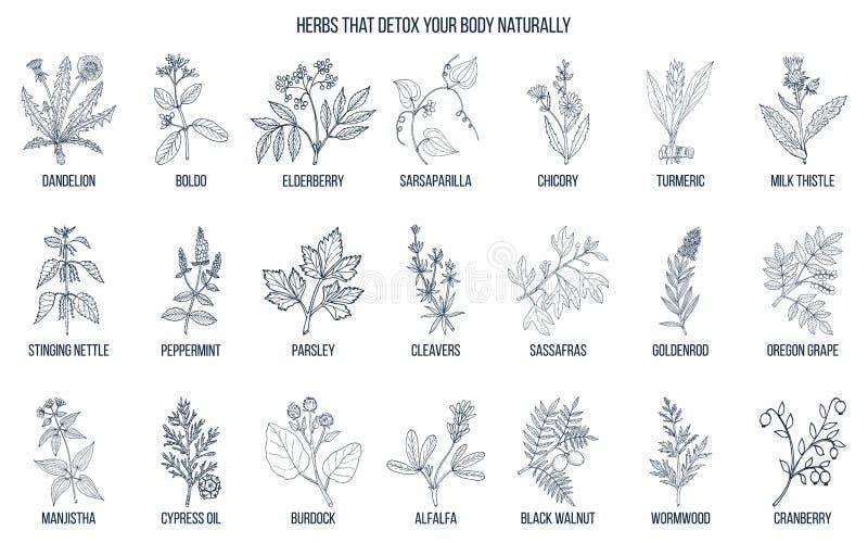 Beste kruiden voor lichaam detox royalty-vrije illustratie