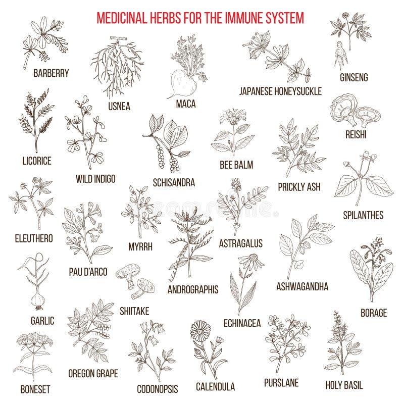 Beste medizinische Kräuter für das Immunsystem vektor abbildung