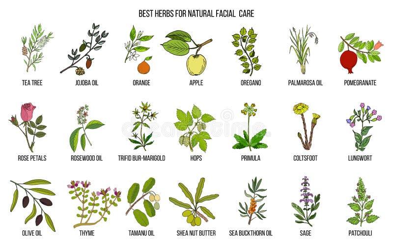 Beste medizinische Kräuter für natürliche Gesichtspflege stock abbildung