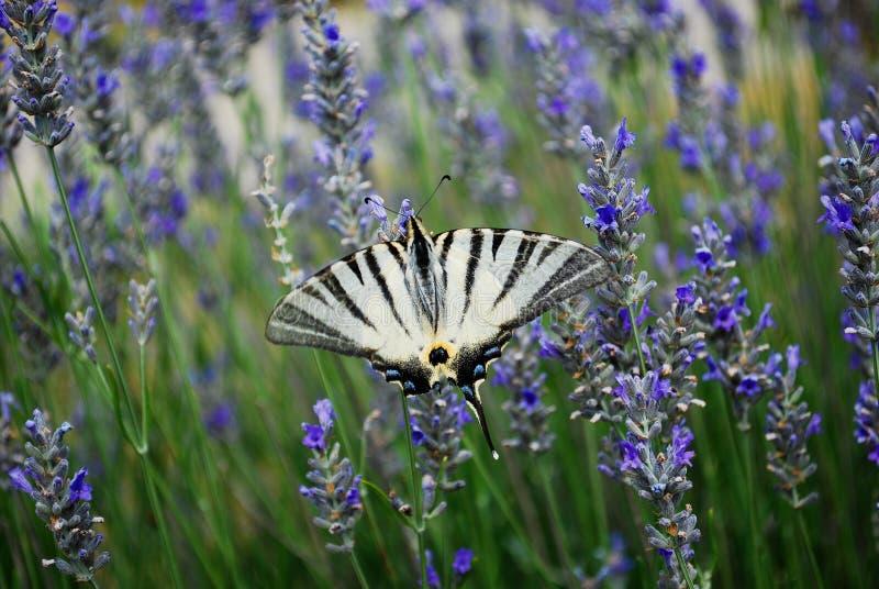 Bestekvlinders op lavendelbloemen stock afbeeldingen