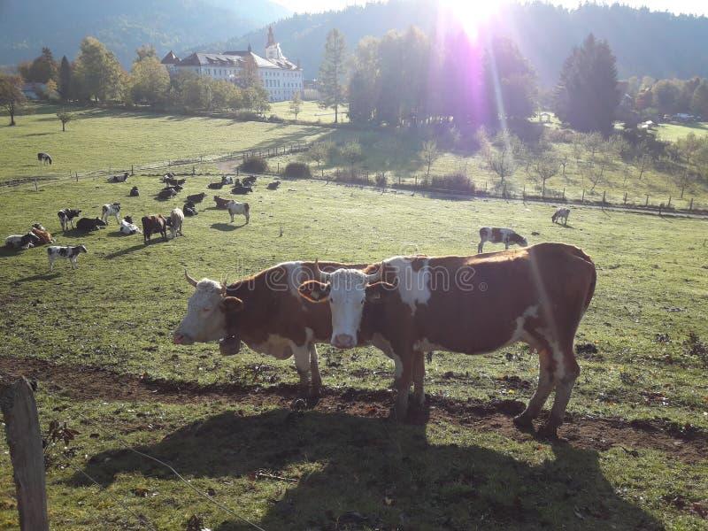 bestiame fotografie stock