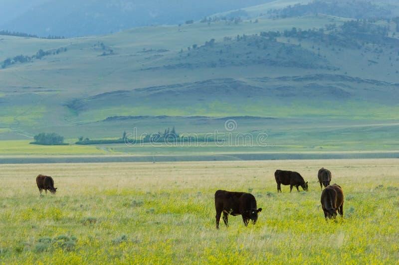 Bestiame allevato ad erba fotografia stock libera da diritti