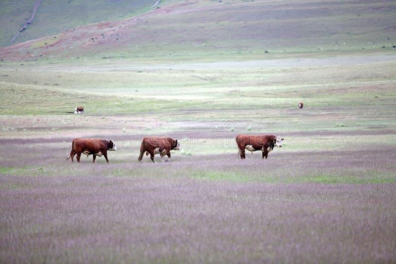 Bestiame in azienda agricola patagonian nella regione del Magallanes, Cile del sud fotografie stock