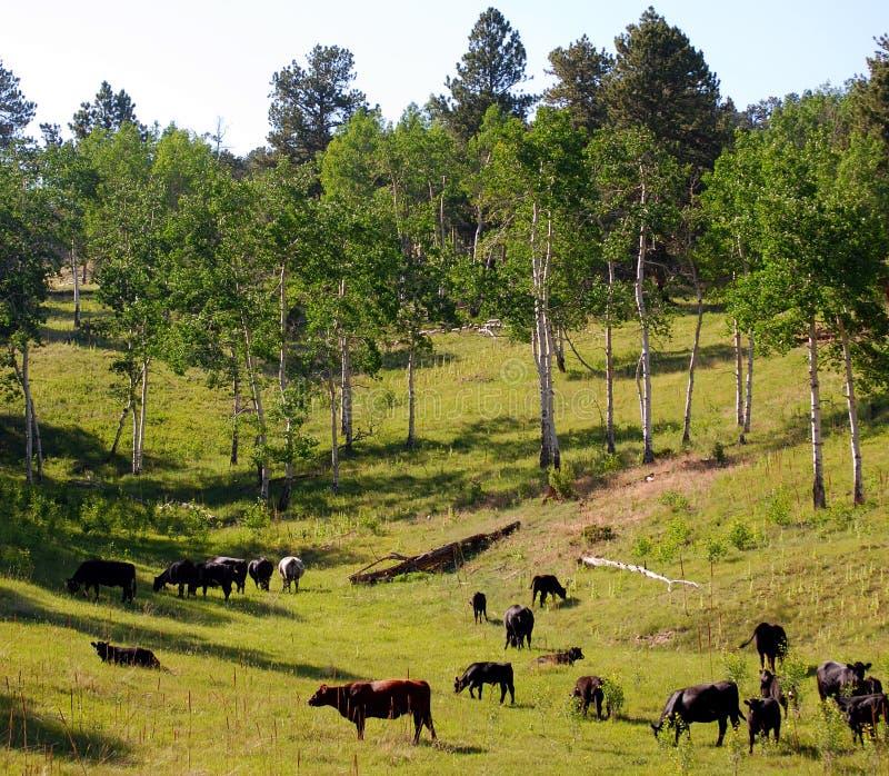 Bestiame che pasce fotografia stock