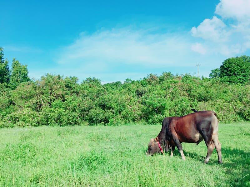 Bestiame che pasce nel prato fotografia stock