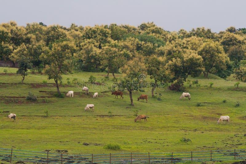 Bestiame che pasce nel prato della giungla durante il monsone fotografie stock