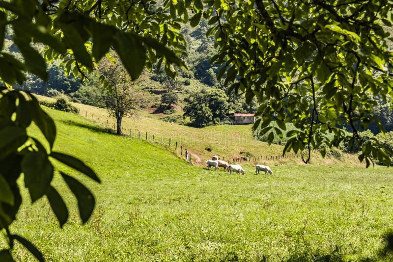 Bestiame che pasce in Pirenei atlantici Aquitaine Francia fotografia stock