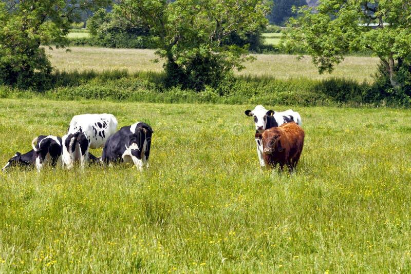 Bestiame che pasce su un prato fertile fotografia stock