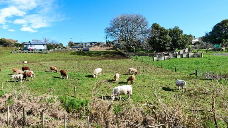 Bestiame che pasce su un prato verde in un recinto chiuso immagini stock libere da diritti
