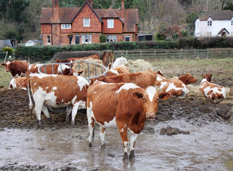 Bestiame che pasce in un campo fangoso immagini stock