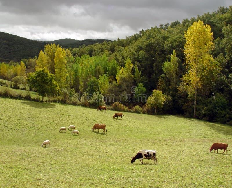 Bestiame che pasce in un campo verde fotografia stock libera da diritti