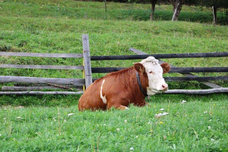 Bestiame che pasce in un campo verde fertile di giorno fotografie stock libere da diritti