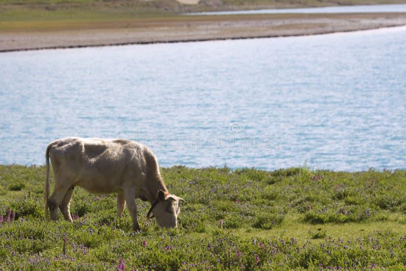 Bestiame che rosicchia fotografia stock